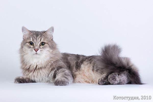 Сибирские кошки коты и котята